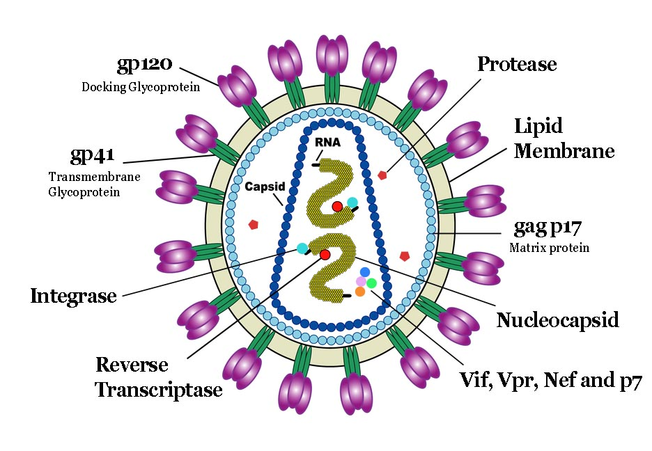 the viral protein p24   H1n1 Virus Structure